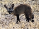 bat-eared-fox-tau-pan