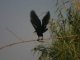 black-heron