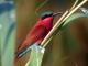 carmine-bee-eater