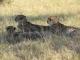 cheetah-brothers-kwara