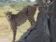 cheetah-scent-marking-lagoon