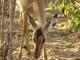 chobe-impala-1
