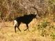 sable-antelope