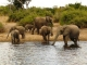 elephants-chobe-river