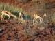 desert-adapted-springbok