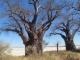 desert-baobabs