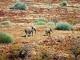 desert-elephant-namibia