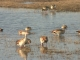 egyptian-geese_0