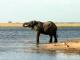 elephant-chobe-river