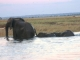 eles-crossing-chobe-river