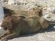 etosha-lions