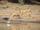 female-kudus-chobe-river