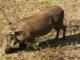foraging-warthog