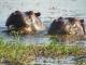 friendly-hippos