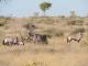 gemsbok-kalahari