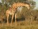 giraffe-okavango