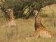 giraffe-resting