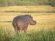 grazing-hippo-kwara