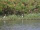 great-white-egrets