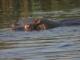hippo-gaze