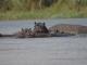 hippos-chobe-river