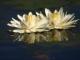 okavango-delta-flowers