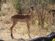 impala-chobe-national-park