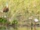 jacana-waterlilies-kwara