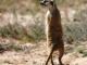 kalahari-meerkat-1