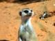 kalahari-meerkat
