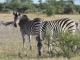 kalahari-zebra