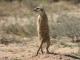 kgalagadi-meerkat