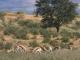 kgalagadi-springbok