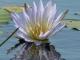 okavango-water-lilies