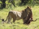 lioness-with-kill-kwara