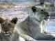 lions-chobe-national-park