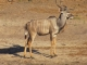 male-kudu-chobe-riverbank