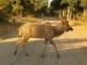 male-kudu-chobe