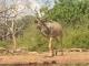 male-kudu