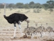 ostrich-and-chicks-nxai-pan