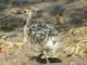 ostrich-chick