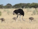 ostrich-with-chicks_0
