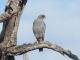 pale-chanting-goshawk