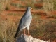 pale-chanting-goshawk_0