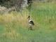 saddle-billed-stork_1