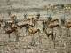 springbok-etosha