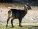 toilet-seat-waterbuck