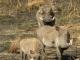 warthog-family