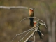 white-fronted-bee-eater_0