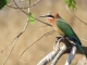 white-fronted-bee-eater_1